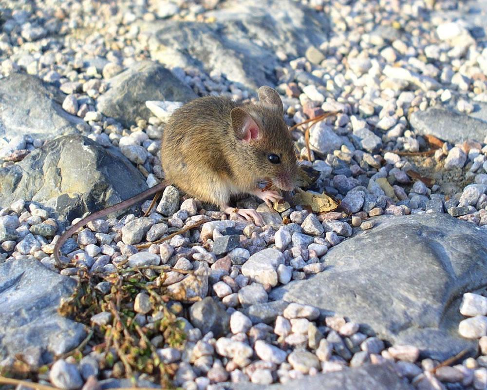 Perigo Dos Ratos